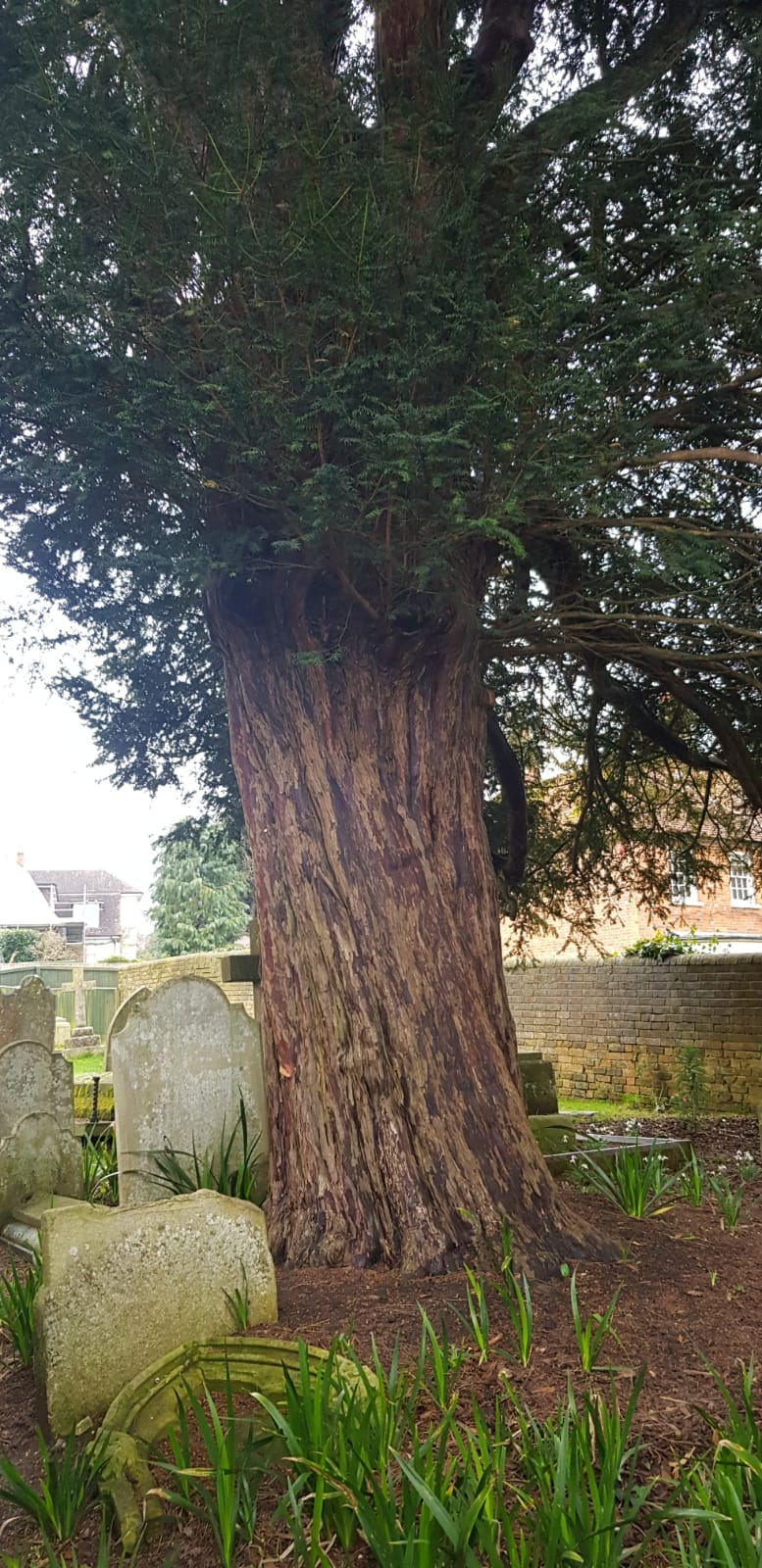 oldest yew tree in England